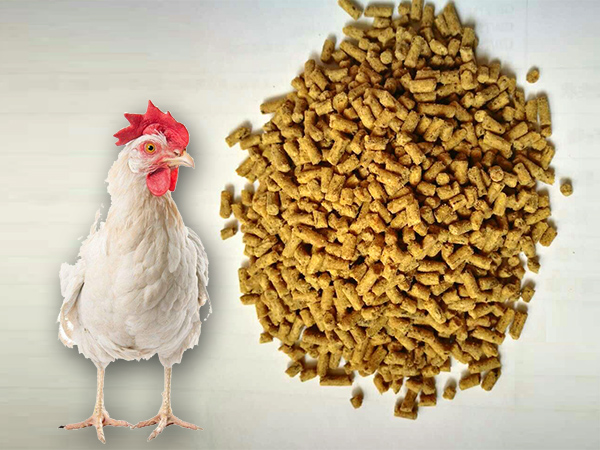 middle-aged chicken feed